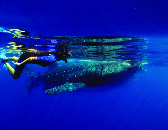Swim with Whale Shark